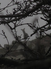 The deer hunter (shaggy359) Tags: lundy sike deer silhouette watch watching mist glimpse branch tree grey gray