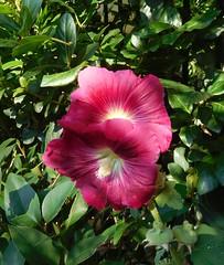 FLOWER 38 (amalthus) Tags: amateur nikon nature plant plante blumen fiori flores fleur flower color couleur greece bloom blossom beauty beaute garden jardin