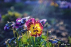 Colors & Light (Stathis Iordanidis) Tags: closeup macro countryside landscape beautiful amazing springcolors growth nature colorful flowers
