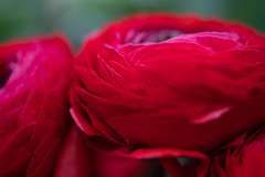 Deep red (Tashata) Tags: macro red nature flowers plant petals dark dof depthoffield beautiful botanical bright closeup composition sony sonyilce7rm2 fe90mmf28macrogoss