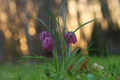 Checkered lily (Kapi Zoli) Tags: checkered lily kockásliliom fritillaria meleagris nature természet virág flower macro makró bokeh spring tavasz