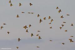 Cardellini in volo (maqui_photo_fusion) Tags: canon100400lisii eos7dii cardellino
