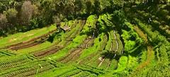INDONESIEN, Bali ,unterwegs nach Klungkung (Reisterrassen) 18027/11264 (roba66) Tags: bali urlaub reisen travel explore voyages rundreise visit tourism roba66 asien asia indonesien indonesia insel island île insulaire isla reisterrassen rice ricefields reis green grün landschaft landscape paisaje nature natur naturalezza
