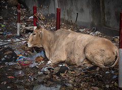 Street Cow (Anthony Warmuth) Tags: delhi india salaambaalaktrust