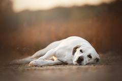 lazy (mona_hoehler) Tags: dog pet animal labrador mix golden sundown summer sunrise lazy sleep girl model shooting nikon tamron