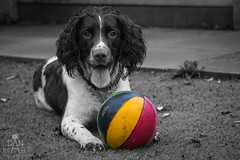 IMG_9192 (DanMarty92) Tags: coloursplash dog english englishspringerspaniel springer spaniel ball bright colours monochrome rescuedog adoption liver work pet