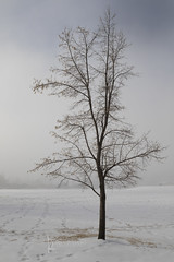tree on foggy morning (Karen Juliano) Tags: bare tree lone snow foggy mist morning colorado winter
