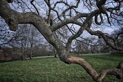 Branch of an Old Oak Tree. (margaretgeatches) Tags: winter lichen bark oaktree twisted treebranch