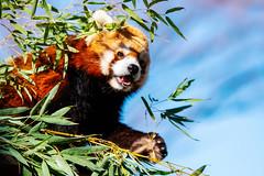 Red Panda, Kiku of Nogeyama Zoo : 野毛山動物園・レッサーパンダのキク (Dakiny) Tags: 2019 winter january japan kanagawa yokohama nishiku nishiward city street nikon d750