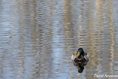 Duck in a Pond (Daveoffshore) Tags: duck pond bird water