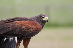 IMG_1417 (Stefan Kusinski) Tags: hemsley duncombe ncbp birdofprey