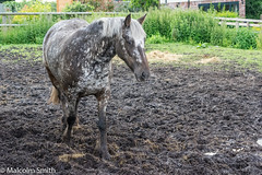 Wearing Camouflage (M C Smith) Tags: horse pentax k3ii field mud muddy white brown black houses fence weeds stingingnettles straw yellow green brick red sky grey bushes trees water puddles