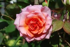 Schaue, Mensch, o schaue mich (amras_de) Tags: rose rosen ruža rosa ruže rozo roos arrosa ruusut rós rózsa rože rozes rozen roser róza trandafir vrtnica rossläktet gül blüte blume flor cvijet kvet blomst flower floro õis lore kukka fleur bláth virág blóm fiore flos žiedas zieds bloem blome kwiat floare ciuri flouer cvet blomma çiçek
