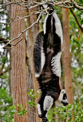 Black and White Ruffed Lemur Hanging Upside Down (Susan Roehl) Tags: madagascar2017 islandofmadagascar offtheeastcoastofafrica akaninnynofy palmariumreserve blackandwhiteruffedlemurs vareciavariegata criticallyendangered animal mammal herbivore mainlyfruit endemic largestextantmembers lemuridaefamily uptoninepounds upto39feetinlength arboreal highcanopy seasonalrainforests diurnal quadrupedalmotion frugivorous eatsnectar flowers seeds leaves complexsocialstructure loudraucouscalls shortgestationperiod largelitters rapidmaturation sueroehl photographictours naturalexposures panasonic 100400mmlens handheld cropped coth coth5