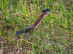 Green Heron in a rush. (Chris Firth of Wakey.) Tags: greenheron everglades
