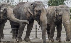 HH, Tierpark Hagenbeck Elefanten (bleibend) Tags: 2019 em5 leicadgsummilux25mmf14 omd elefanten hagenbeck hagenbeckstierpark hamburg hansestadt m43 mft olympus olympusem5 olympusomd tiere tierparkhagenbeck