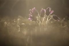 Pasque Flower (Daniel Trim) Tags: pasque flower spring nature uk england frosty macro april cold sunrise sun rise night bokeh hertfordshire outdoor serene