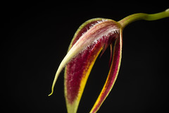 [Philippines] Bulbophyllum maxillare (Lindl.) Rchb.f. in W.G.Walpers, Ann. Bot. Syst. 6: 248 (1861) (sunoochi) Tags: orchidlover flowers plants nature ラン バルボフィラム anggrek orquideas 植物 plantmorphology bulbophyllum マキシラレ フィリピン orchidspecies 蘭 maxillare philippines green orchid botany species orchids