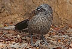 Apostlebird (Uhlenhorst) Tags: 2009 australia australien animals tiere birds vögel travel reisen worldofanimals ngc npc