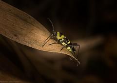 Chlorophorus curtisi (dustaway) Tags: insecta coleoptera cerambycidae cerambycinae chlorophoruscurtisi australianbeetles australianinsects clagiraba coomeravalley