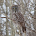 Great Gray Owl (Strix nebulosa) (Don Delaney) Tags: strixnebulosa greatgrayowl