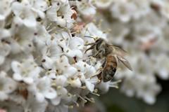 DSC_4190 (Deborah Kotovsky) Tags: bee beauty insect closeup nikond7200 nature nikon