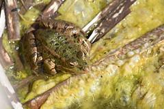 Pelophylax perezi (esta_ahi) Tags: tarragona lamussara vilaplana baixcamp granota rana común pelophylax perezi pelophylaxperezi ranidae amphibia anura fauna spain españa испания