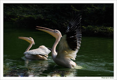White Pelican (Verma Ruchi) Tags: whitepelican bird water action