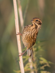 Common reed bunting (JS_71) Tags: nature wildlife nikon photography outdoor 500mm bird new see natur pose moment outside animal flickr colour poland sunshine beak feather nikkor d7500 wildbirds