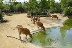 Chester Zoo Islands (1274) (rs1979) Tags: chesterzoo zoo chester islands banteng
