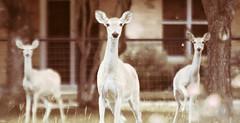 Texas White Tail Deer (David LaVergne) Tags: game deer whitetail buck doe texas wildlife urban