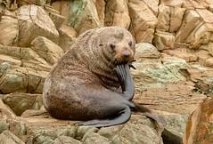 New Zealand Fur Seal (haroldmoses) Tags: 2y3a3244 marlboroughregion newzealand nz picton ekotours queencharlottesound southisland