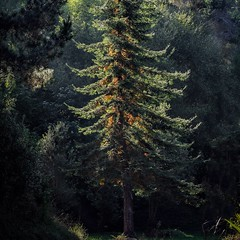 Morning light catching a fir (njohn209) Tags: d500 nikon nz landscape trees