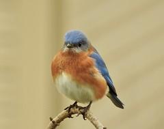 Eastern Bluebird Male (Trish Overton) Tags: easternbluebird male bird birds hiddenlake evansville in