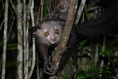Aye-Aye (Daubentonia madagascariensis) (Susan Roehl) Tags: madagascar2017 islandofmadagascar offtheeastcoastofafrica palmariumreserve ayeaye nocturnallemur daubentoniamadagascariensis wildanimal mammal omnivore strepsirrhineprimate genusdaubentonia familydaubentoniidae rodentliketeeth specialthinmiddlefinger largestnocturnalprimate fillsnicheofawoodpecker percussiveforaging consideredevilfolkbelief iucnendangered basedonsuperstition arboreal solitary sphericalnests sueroehl photographictours naturalexposures panasonic lumixdmcgh4 35x100mmlens handheld photographedatnight highlycropped wood forest tree