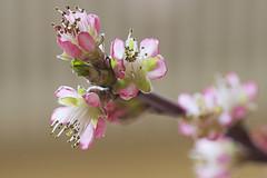 Pfirsischblüten - Peach blossoms (heinrich.hehl) Tags: natur frühling flora pfirsischblüten makro spring nature macro peachblossoms