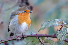 Robin (Unintended_Keith - hope to catch up soon.) Tags: robin redbreast bird wildlife bramble canon1dx sigma150600mms