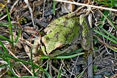 Pacific Tree Frog, Kittitas County, WA 4/4/19 (LJHankandKaren) Tags: hartroad frog treefrog pacifictreefrog