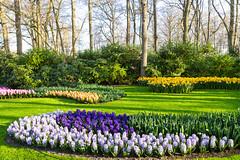 Keukenhof - Hyacinths and daffodils (jan.vd.wolf) Tags: keukenhof thenetherlands lisse zuidholland nederland nl lisse2019 bloembollen tulpen bulbs flower