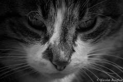 Bad Cat (Nicolas Rouffiac) Tags: cat chat catz nekko animal pet bad vilain gato nb bw monochrome portrait