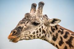 Giraffe with Attitude (helenehoffman) Tags: africa maasaigiraffe kenya conservationstatusvulnerable mammal masaigiraffe kilimanjarogiraffe masaimaranationalreserve giraffacamelopardalistippelskirchii animal