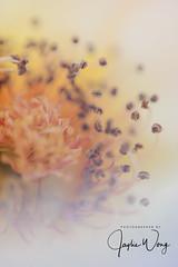 Chofu - Jindai Botanical Garden (9) (ジェイリー) Tags: 神代植物公園 tokyometropolis 東京都 sony a7r 日本 japan 調布市 じんだいしょくぶつこうえん 調布 chōfu chofu jindaibotanicalgarden 花 植物
