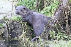 Otter (lutra lutra) (mrm27) Tags: otter lutralutra lutra santondownham norfolk suffolk
