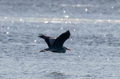 Heron (Liam Waddell) Tags: bird tree bogside flats sssi irvine ayrshire scotland water river egret heron