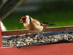 Goldfinch in the birdhouse (FergalSandra) Tags: dundalk louth ireland goldfinch
