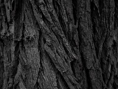 Tree Texture 3 (Uncle Papi Picanti) Tags: tree bark forest wood outdoors lumber texture bw nature woodworking olympus em10markii lumix g25mmf17
