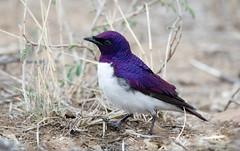 Violet-backed Starling -8002 (Theo Locher) Tags: birds cinnyricinclusleucogaster oiseaux plumcolouredstarling violetbackedstarling vogels vögel krugernationalpark kruger zuidafrika southafrica copyrighttheolocher witborsspreeu