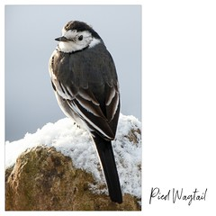 Pied Wagtail (tina777) Tags: pied wagtail bird feathers snow winter visitor nature wildlife natural world canon7d canon photography canon100400 vale glamorgan south wales