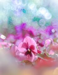 Happy Valentine's Day❤️ (Tomo M) Tags: heart flower garden nature winter february viola bokeh bubblebokeh trioplan 新宿御苑