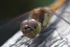 蜻蛉 / Dragonfly      Boyer Paris Saphir 50 mm F 3.5 (情事針寸II) Tags: 自然 マクロ撮影 昆虫 蜻蛉 oldlens macro bokeh nature insect dragonfly boyerparissaphir50mmf35 ngc